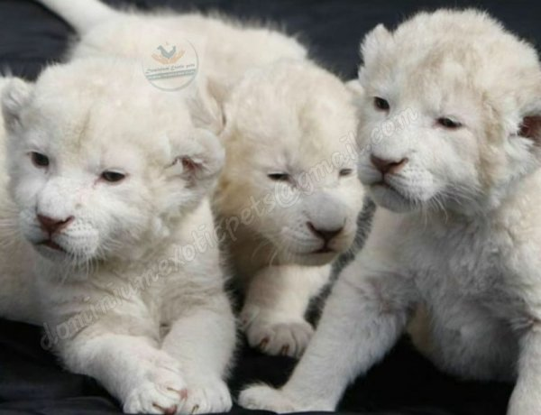 BUY WHITE LION CUBS FOR SALE
