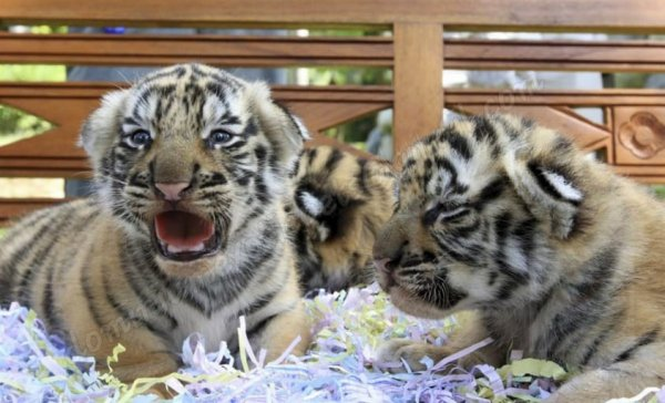 BUY PURE BREED TIGER CUBS FOR SALE, EXOTIC PETS FOR SALE, COCKATOO PARROTS, LION CUBS FOR SALE, TIGER CUBS FOR SALE