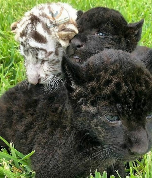 BLACK PANTHER CUBS FOR SALE, EXOTIC PETS FOR SALE