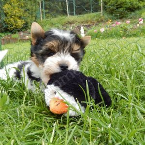 Yorkie-Poo Puppies for Sale, buy Yorkie-Poo Puppies for Sale, Yorkie-Poo Puppies