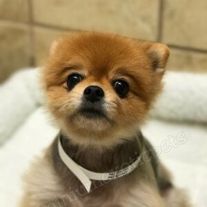 Dogs & Puppies for sale, Pomeranian Puppies For Sale , buy Pomeranian Puppies For Sale, buy Pomeranian Puppies For Sale online