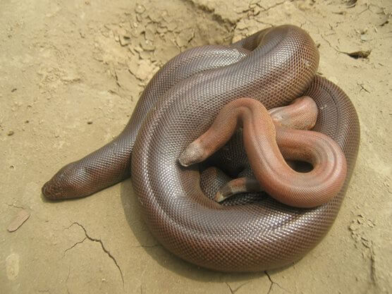 Red Sand Boa For Sale